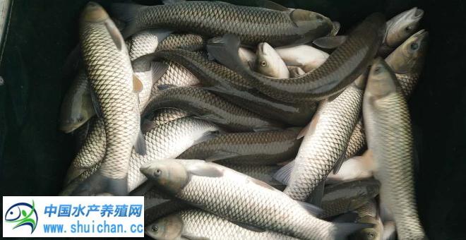 三大因素将刺激五月份以后淡水鱼价格再次疯狂?