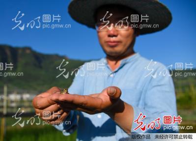 向稻田边上的青蛙喂食.-四川泸州苏叙永县叙永镇生态养蛙模式有效