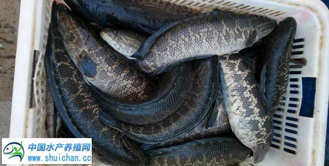 再过两个月新鱼上市冲击鱼价 黑鱼养殖户要抓紧卖鱼了