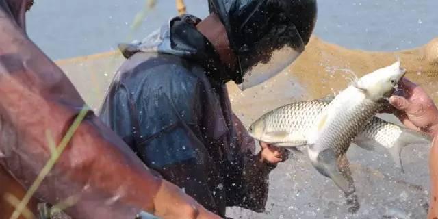 广州诚一:土塘智慧养草鱼,年产量华南第一