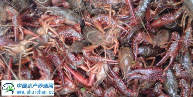 缺货导致龙虾价格连续上涨!7月21日小龙虾价格播报(武汉洪湖监利岳阳南京常州)