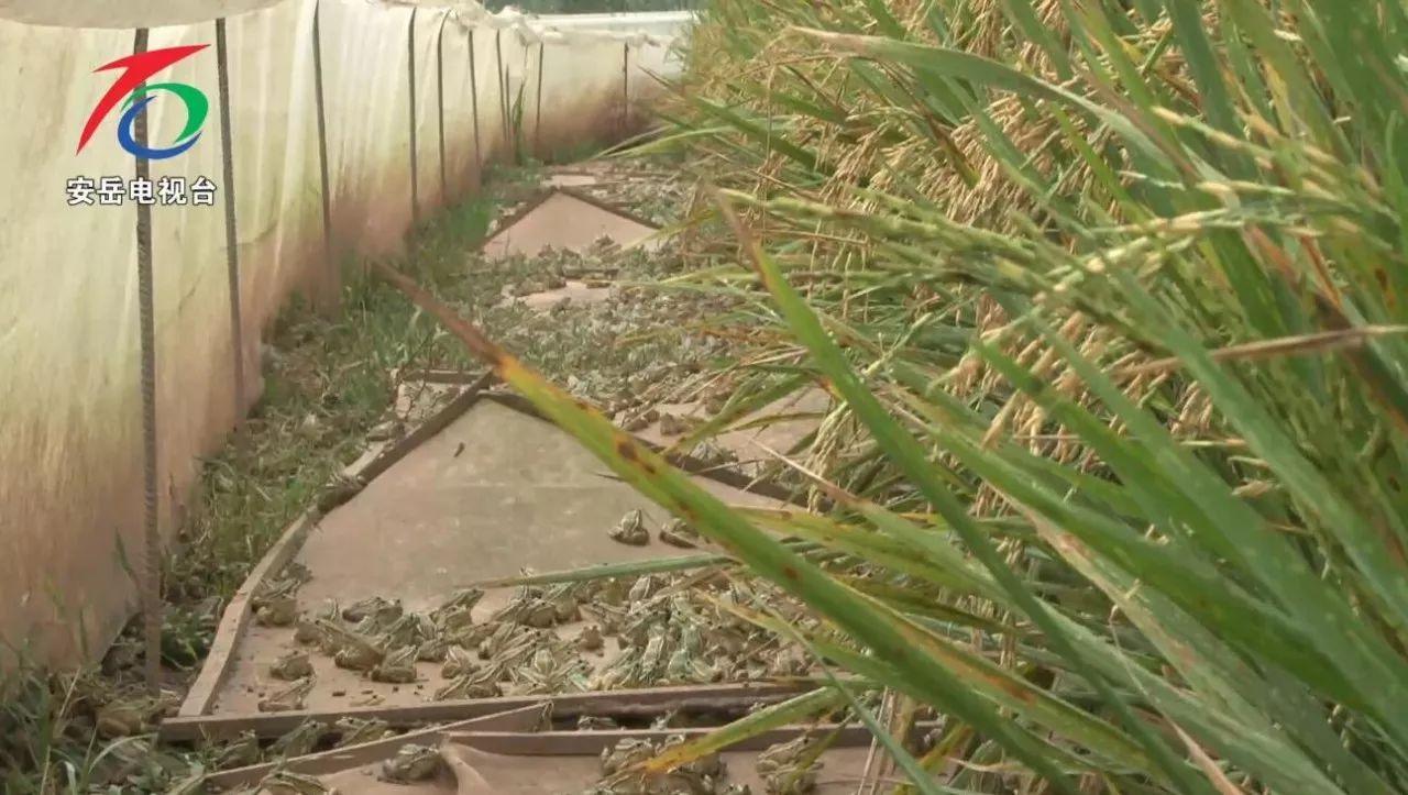 资阳市安岳小伙稻田养青蛙一亩利润在15000元左右,还带动了全村人
