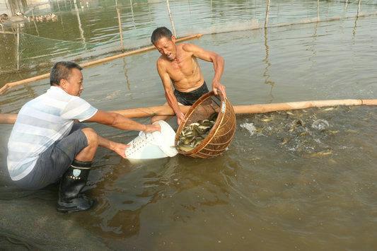 不走寻常路 引入新技术 踩准市场节拍养殖黄颡鱼