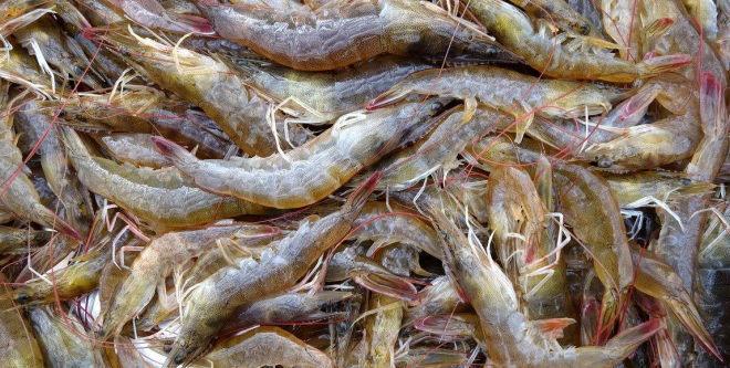 广东湛江地区对虾养殖策略分析
