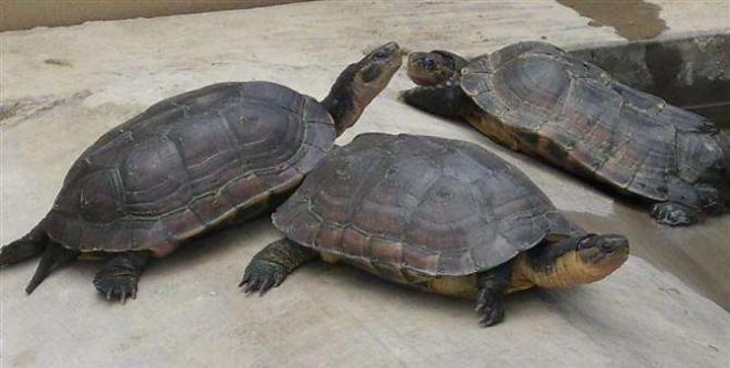经过这第五次大调整,龟鳖产业终将走进新时代!