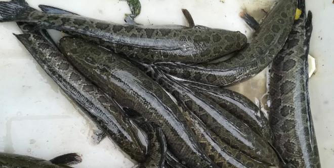 大鱼小鱼最高差价一倍多 广东市场生鱼销量反弹 省外生意疲软