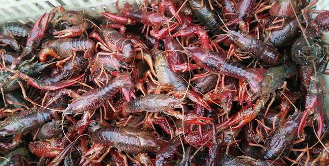 降温后捕捞减少,小龙虾价格疯涨,养殖户放种近尾声,明年卖虾苗还能每亩赚六七千吗?