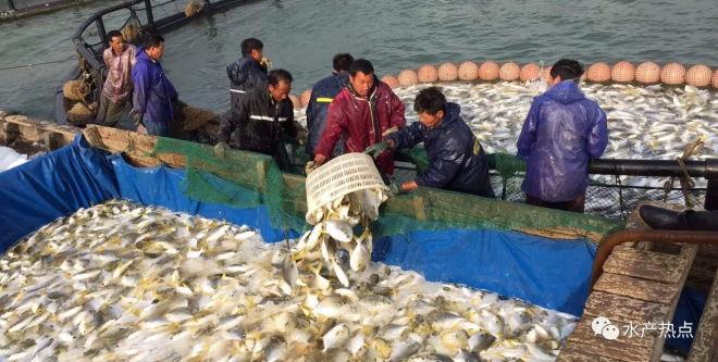 价格不理想,养殖户惜售,金鲳鱼还有6000万斤存量,后市仍是一片阴霾