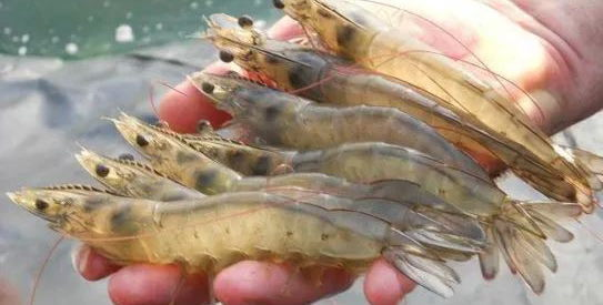 2017国产对虾产量下降10%,进口虾补缺,但有多少是正关进口的?