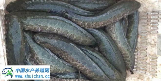 冷空气导致刚需更强,大生鱼价格要疯狂?中小鱼行情持续悲催!明年养黑鱼有哪些风险?