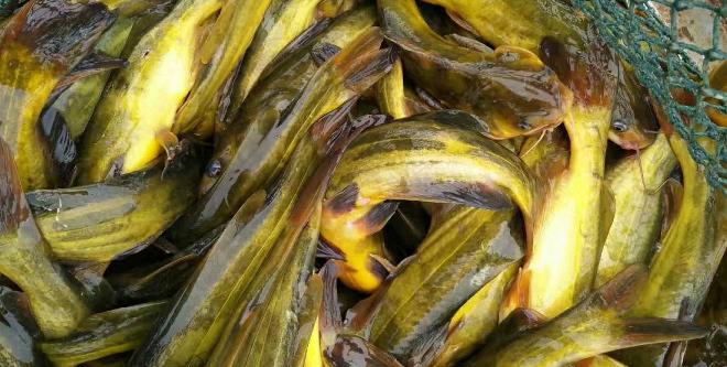 12月上旬黄颡鱼存量仍然很大,元旦前涨价难度大。