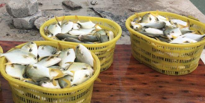 存量3000万斤,金鲳鱼终于迎来大利好,最高上涨1.2元,涨势强劲