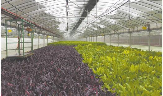 占地20亩的温室大棚内,鱼与蔬菜共生,养鱼不换水,种菜不用土和肥,这样