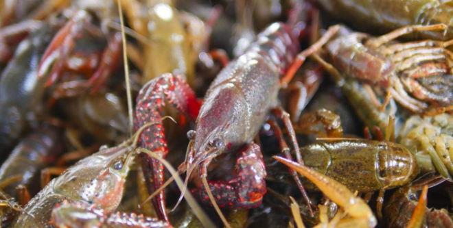 火爆之下也有风险,小龙虾还能红多久?