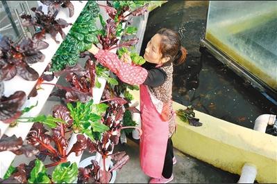 鱼菜共生实现生态种养