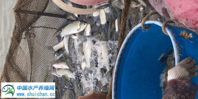 节前各地市场淡水鱼销量到达顶峰,鱼价略有下调