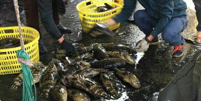 47元/斤,最高利润超200%,引发养殖热情,石斑鱼能否成为南美白对虾的代替者?