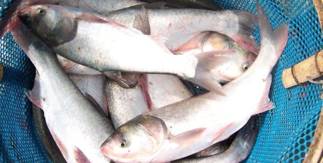 常吃花白鲢等大宗淡水鱼更益身体健康