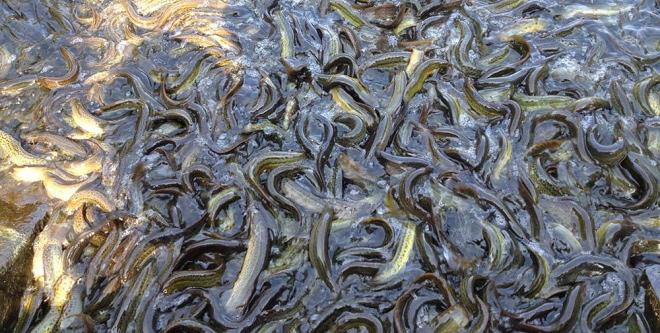 当前泥鳅养殖存在的问题与对策分析