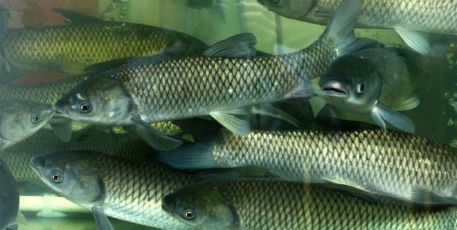节后淡水鱼销量下降,整体价格仍偏高,元宵节还有个小高峰