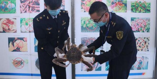 浙江温州检疫犬小Q又立功了! 这次截获的竟然是蟹中之王帝王蟹
