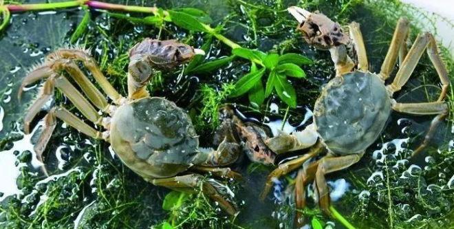 单纯捕捞难以为继,渔民转变思路发展养殖,南美白对虾螃蟹套养喜获丰收