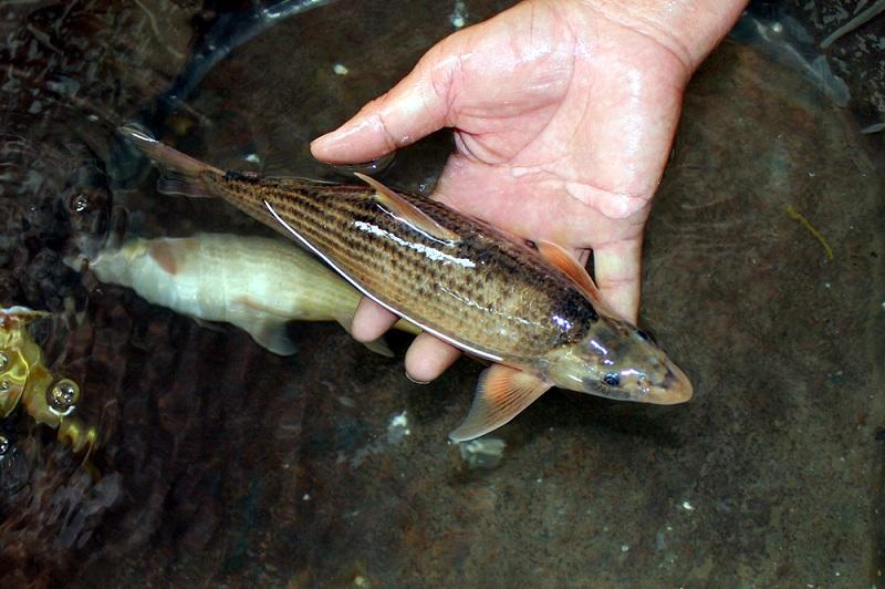 北方铜鱼现身山东聊城东阿系国家濒危二级保护