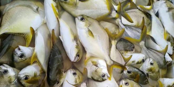 金鲳鱼前景难料,春苗产量仅去年5成,养殖户投苗积极性不高,今年或减产3成