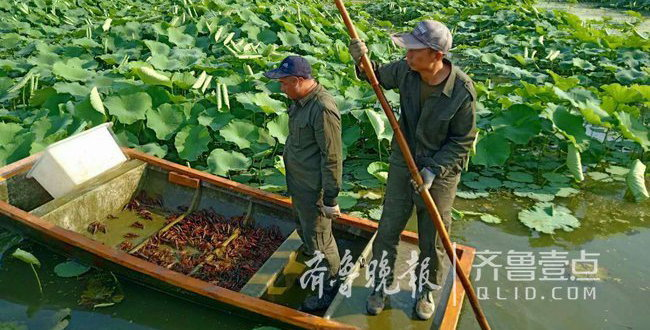 山东微山湖小龙虾到收获旺季 养殖户日收入近万元