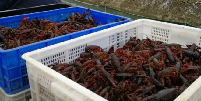 成都人一天吃掉13万斤龙虾 湖北商户数量增长近一倍