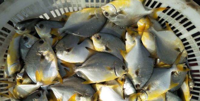 主产区投苗2.4亿尾,金鲳鱼今年投苗量大减,部分区域最高减少50%