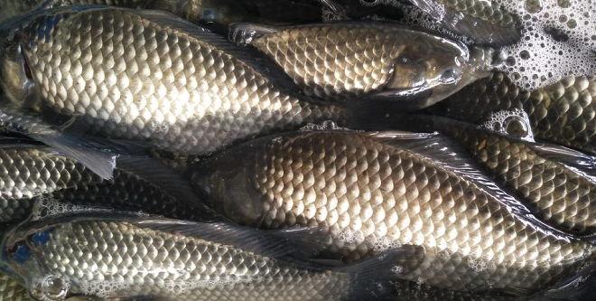 成鱼价格低迷拖累鱼苗,育苗户迟卖个把月少赚了上百万,下半年鱼价仍然没有希望?