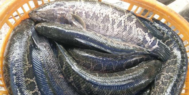 黑鱼价格坚挺一年多,每斤利润三块起,养成率高就必定赚大钱,今年养殖量大增