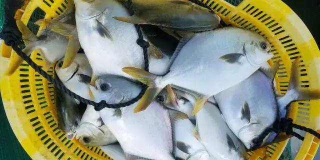 警惕!金鲳鱼肠炎病进入高发期,处理不当或引发大规模死亡潮!
