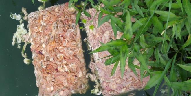 斑点叉尾�t从4-5元/斤涨至超10元/斤!养户仍疯狂投喂鸡肠,埋下一颗定时炸弹!