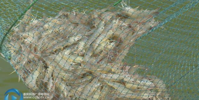 重庆万州区养殖南美白对虾获得成功