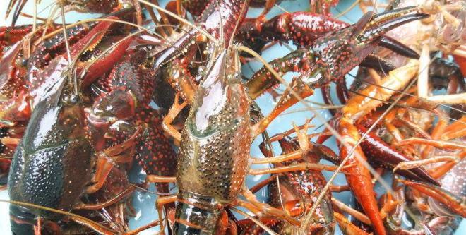 小龙虾价格进入翘尾期 最贵每斤50多元 预计涨势持续到9月