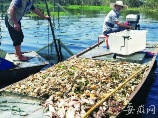 """""""黑水""""流入沱湖 鱼蟹大量死亡 产量将受很大影"""