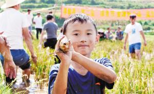 稻鱼飘香,昆明稻田养鱼超万亩,增收1644万元