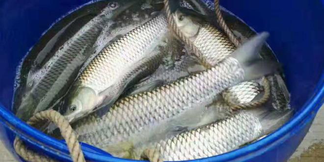 鱼价低迷,料价上涨,谁会是压垮养鱼户的最后一根稻草?