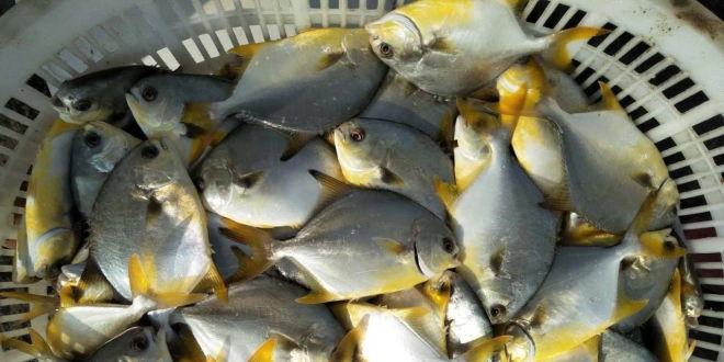 利润最高2.5元/斤,金鲳鱼价格喜人,养殖户争先出鱼