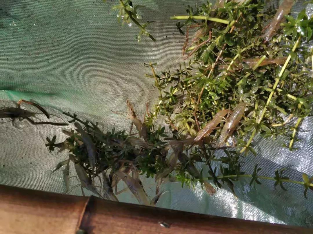 网箱养殖虾_淡水青虾的养殖技术_一个网箱能养多少河虾