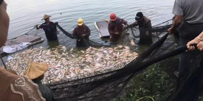 投毒?福建养殖户7万多斤鱼一夜间死光,养户损失40多万!