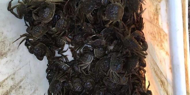 2018江苏盐城河蟹养殖调研汇总:比去年增产10%以上,精养大规格河蟹是趋势