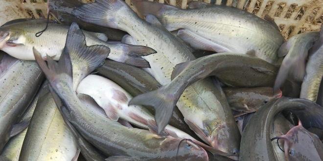 湖北地区斑点叉尾�t养殖现状分析