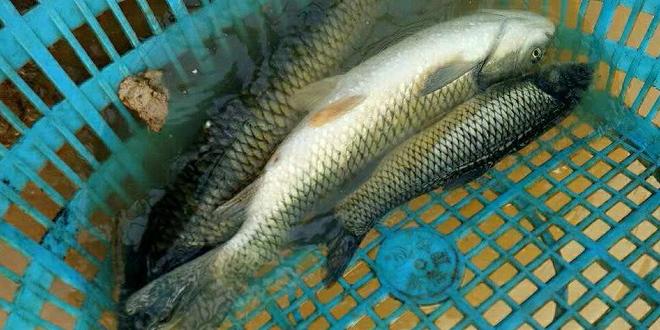 又一波较强冷空气到货了,能不能刺激鱼价上涨?给养殖户多点过年的好心情?