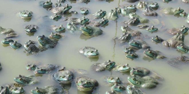 广东潮州进入牛蛙棚最后清理阶段!新蛙又大量上市,价格连续下滑逼近成本线!