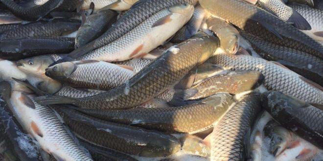 草鱼最低不到4元/斤,鲫鱼最低仅3元/斤出头!节前养殖户出鱼量大,价格不涨反跌