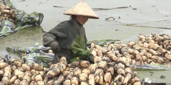 去年无人问津今年价格反弹!莲藕供销两旺的局面能维持多久?