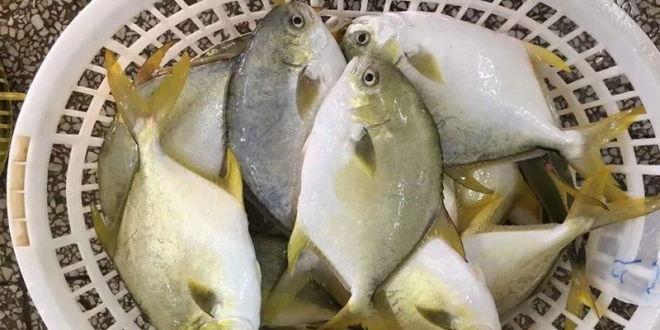 最高价达15.5元!2018年金鲳鱼最高成功率达90%,你赚钱了吗?